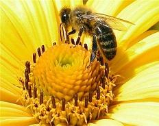 Снижение популяции пчел как угроза экологическому равновесию Земли
