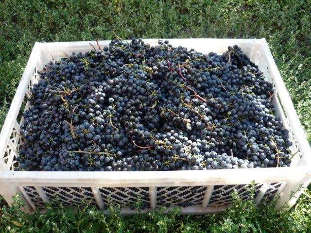 Вино виноградное своими руками фото